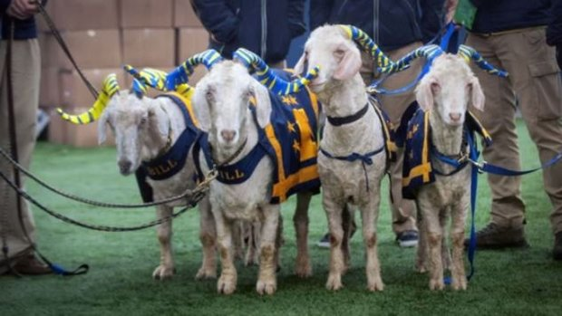 The history of goatnapping between Army and Navy