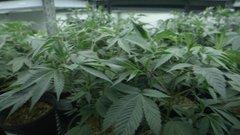 Paul Harris discusses Marijuana stocks