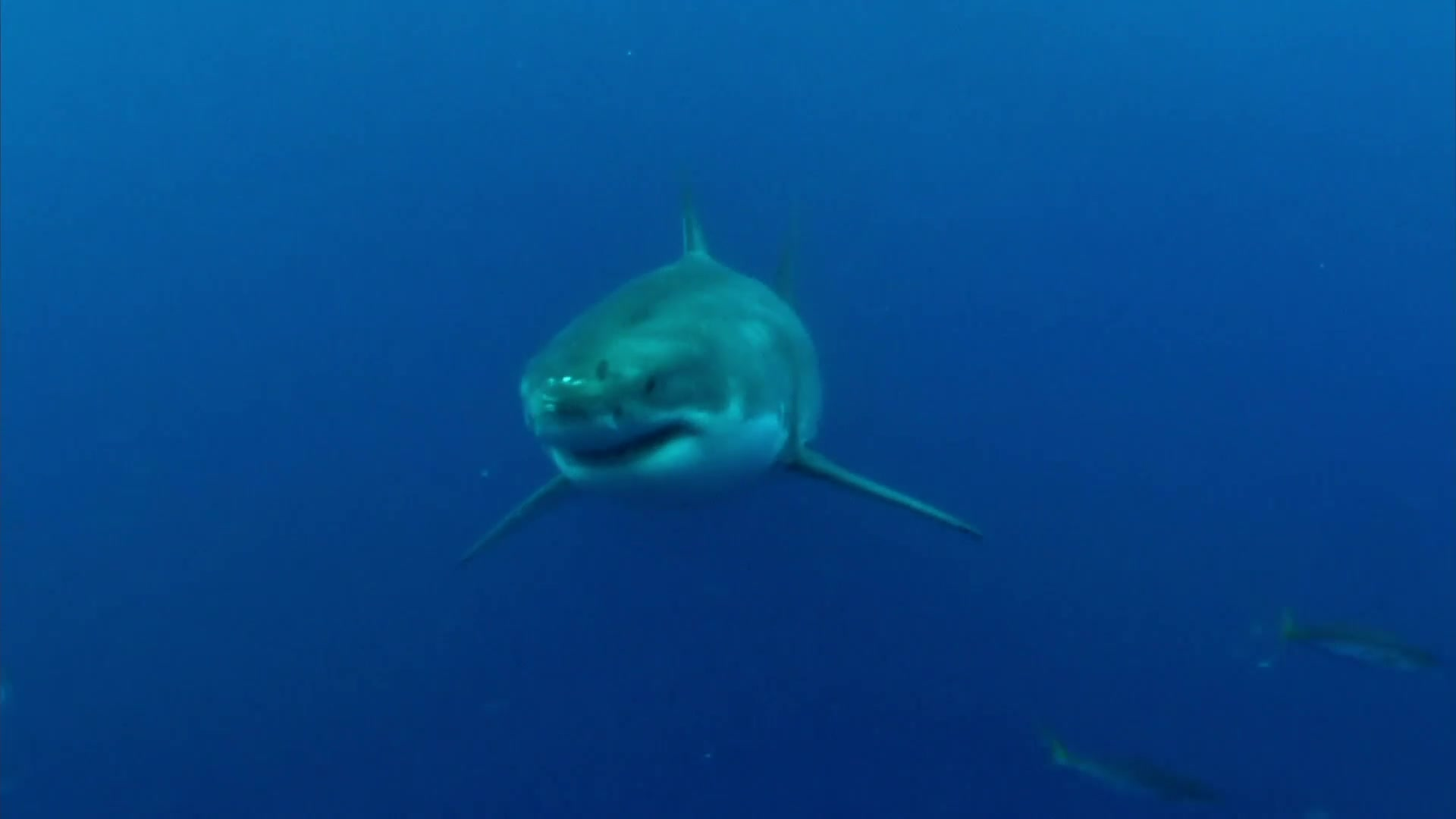 shark back watch video online discovery s dive mako and blue  watch video online discovery jaws strikes back