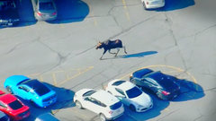 #MooseOnTheLoose in Markham, ON