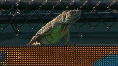 Must See: Iguana runs amok during tennis match