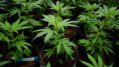 Canopy touts learning opportunity in NL deal