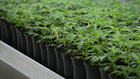 Canopy swings to profit as cannabis producer's revenue surges 180%