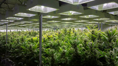 Volatile pot stocks pose portfolio risk