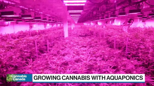 Power Shift: Cannabis grower recycles fish waste in