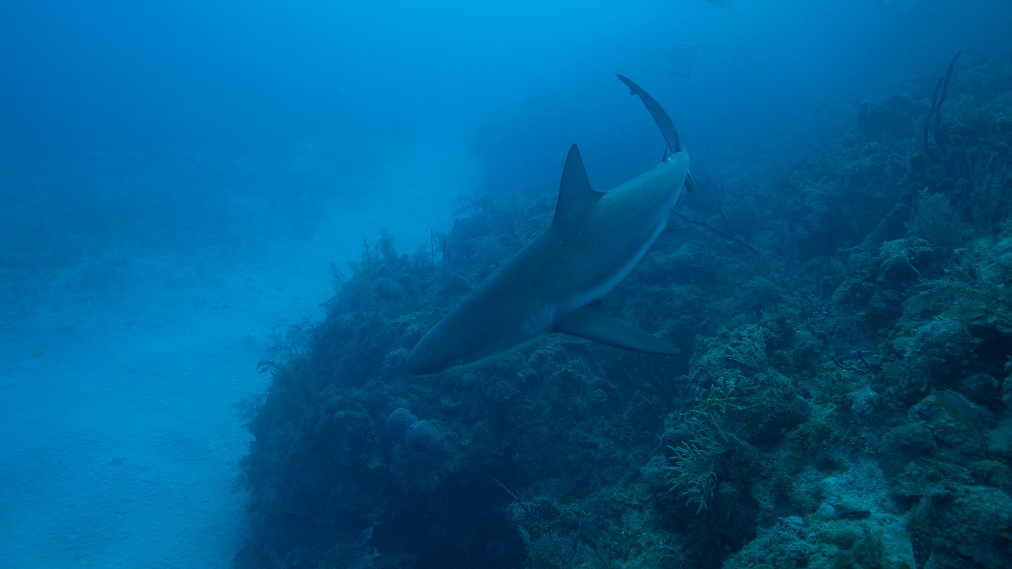Tiburones: The Sharks of Cuba