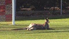 Must See: Kangaroo invades pitch, hilarity ensues