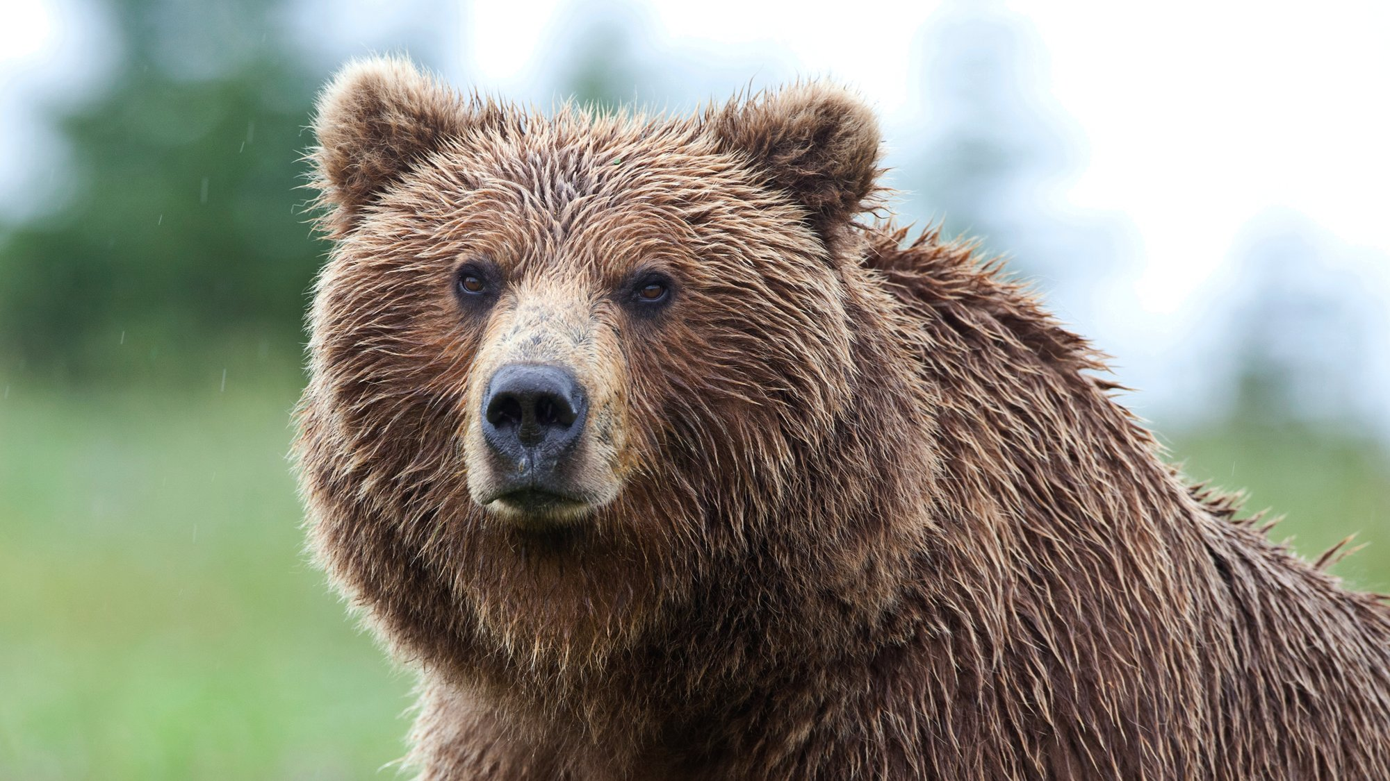 Blonde vs. Bear