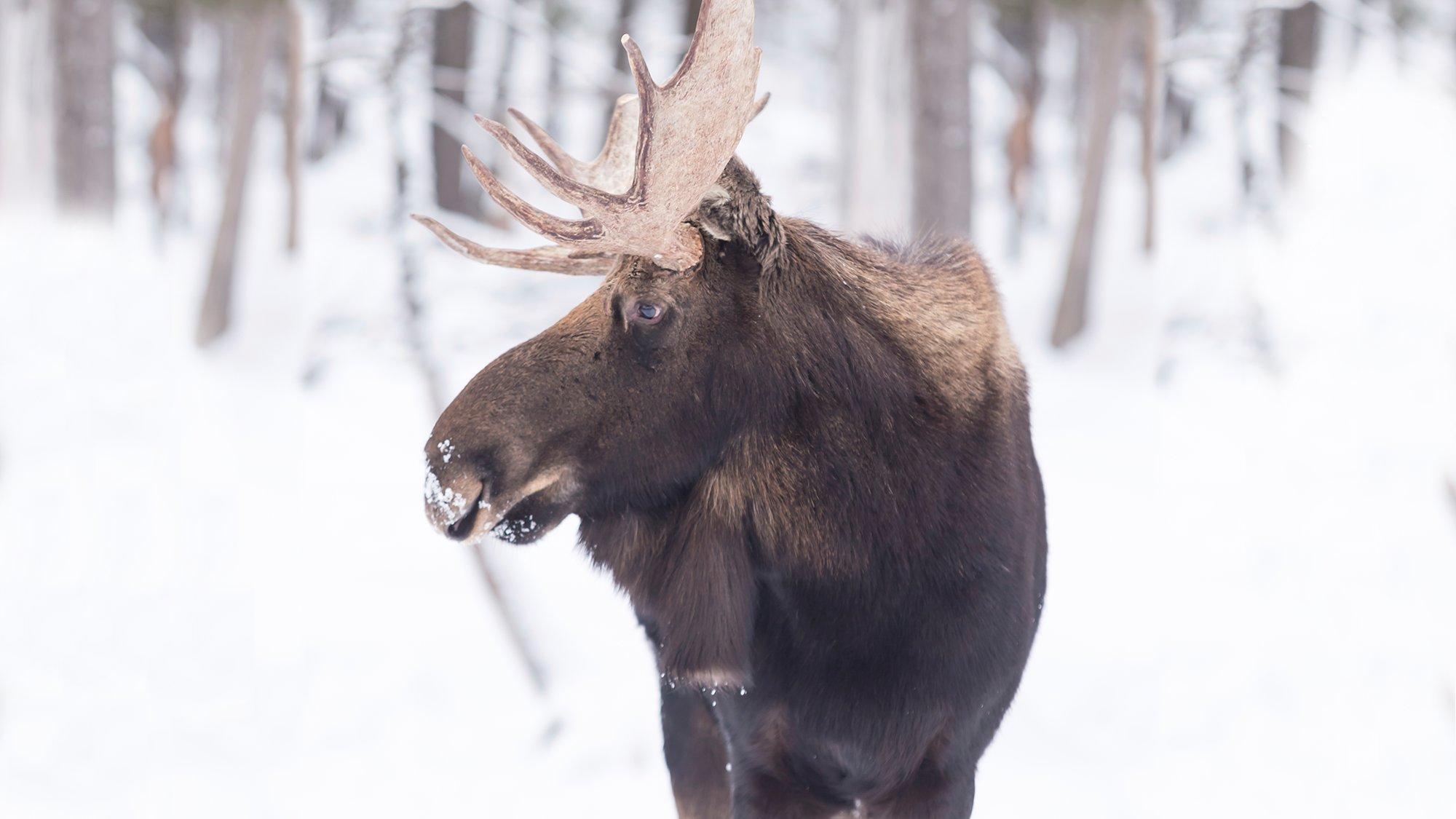 Alaska Moose Men
