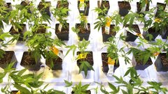 Aurora Cannabis confirms it's held 'exploratory talks' with beverage makers
