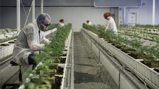 Investing in pot stocks 'really tricky', warns portfolio manager