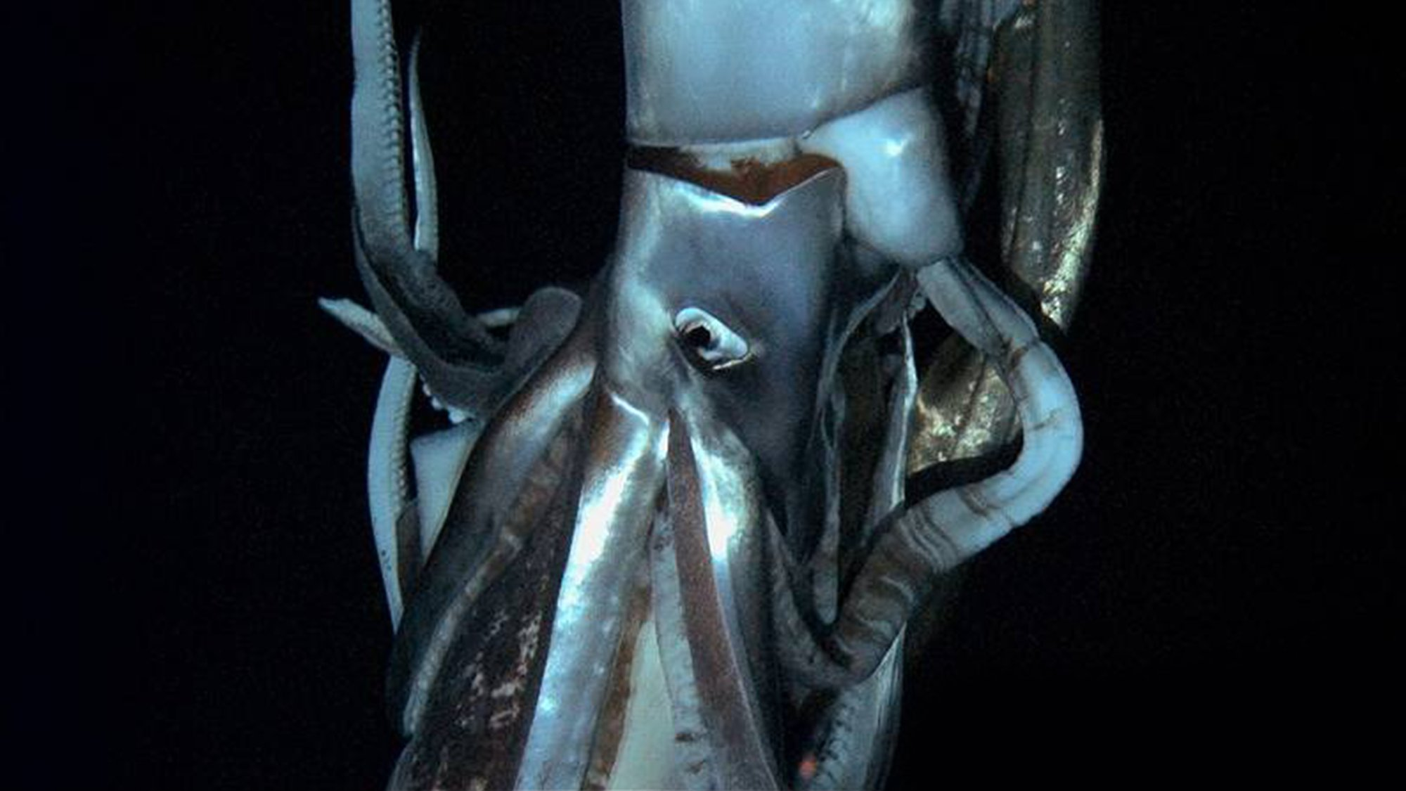 Monster Squid: The Giant Is Real