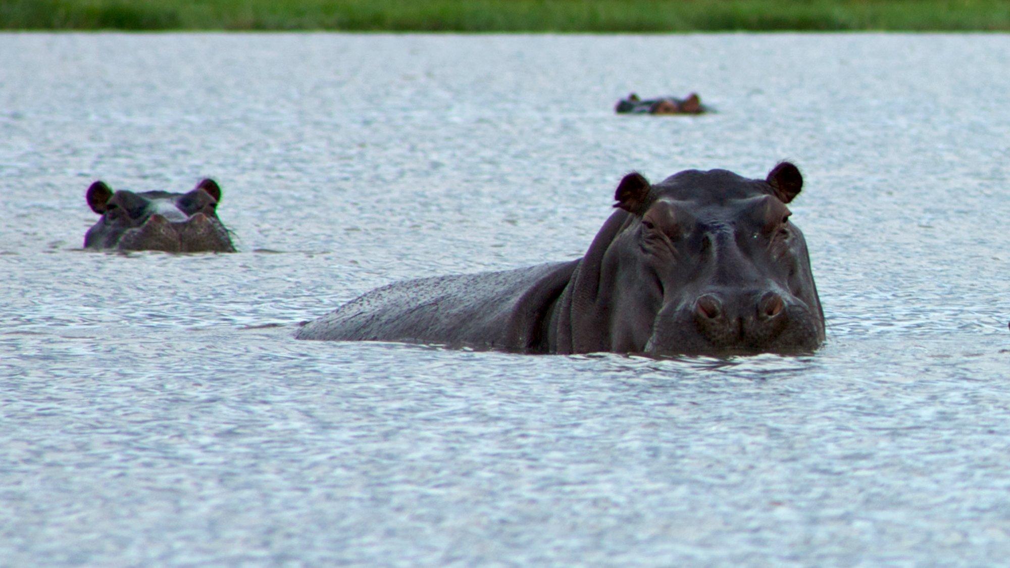 Drug Kingpin Hippos