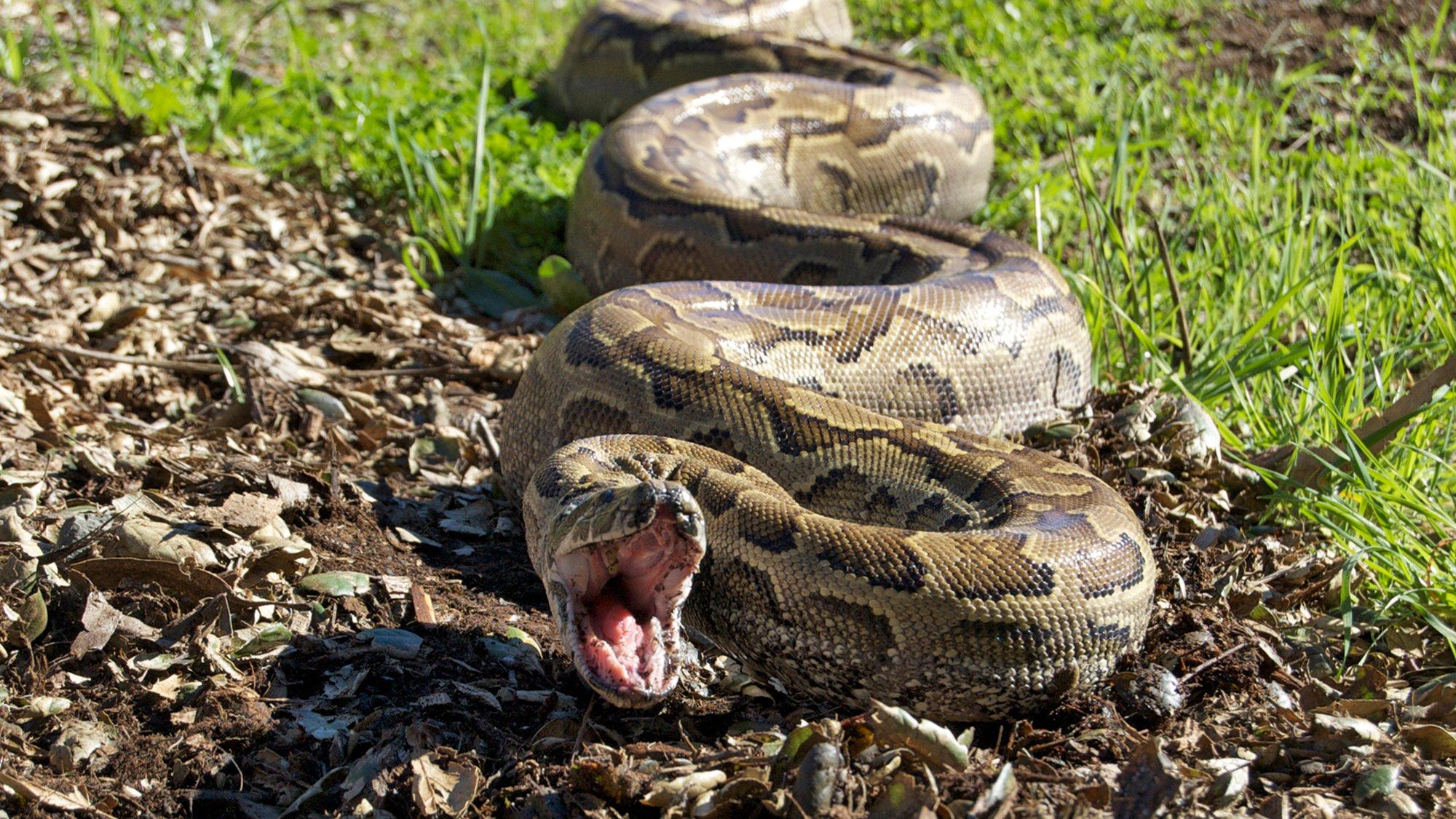 Man-Eating Super Snake
