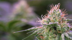 Ontario considering cannabis retail overhaul