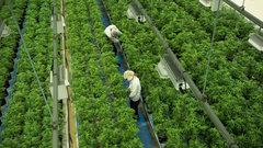 McCreath: Too early to call the bottom on marijuana stocks