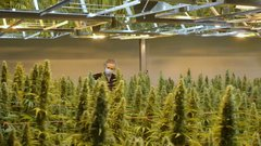 Other firms may have cheated on cannabis supply: Industry consultant