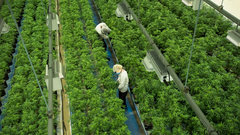 Canopy Growth plans range of pot edibles