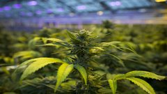Lighting firm gains from cannabis boom