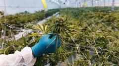 U.S. cannabis firm Verano Holdings to seek public listing via RTO, eyes US$2.8B valuation