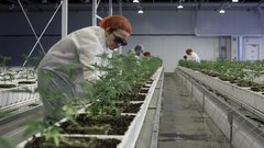 Aurora Cannabis to close European offices, cut jobs amid slowdown in nascent medical marijuana market