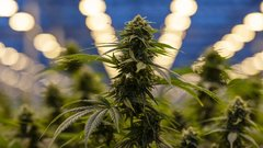U.S. pot stocks rally after analyst suggests sector is significantly undervalued